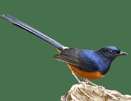 เสียงนกกางเขนดง ใช้ดักจับนก 35DT.mp3