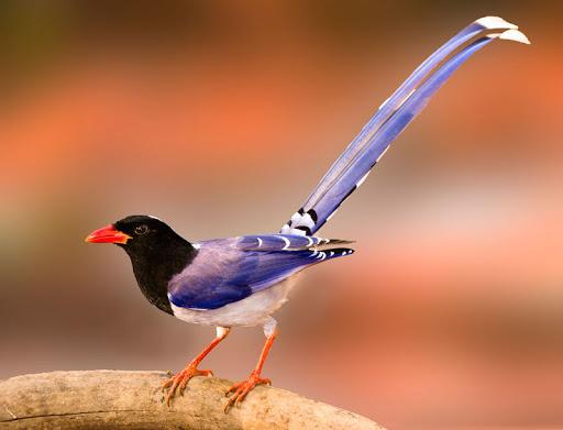 Tiếng chim phượng hoàng đất, dẻ cùi mới nhất ntoc.mp3