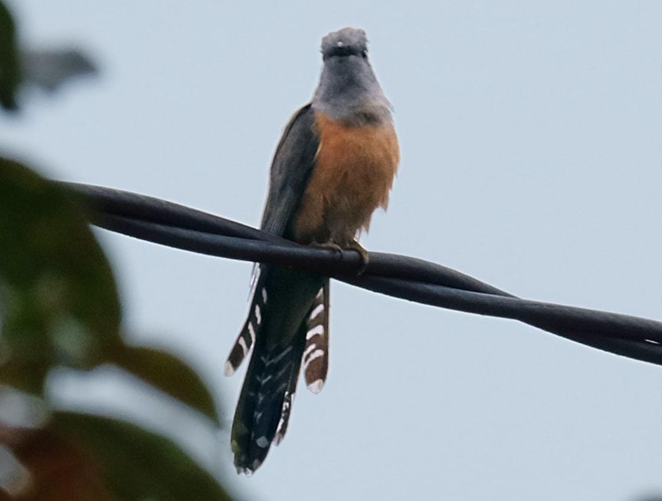 Tiếng chim tìm vịt, chim tiêu tiêu nghe rất rõ và mới nhất lsof.mp3