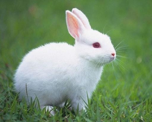 เสียงลูกกระต่าย (ใช้ในการดักจับกระต่าย) Ivi2.mp3