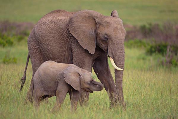 Tiếng con voi gọi bầy đàn chuẩn eZV2.mp3