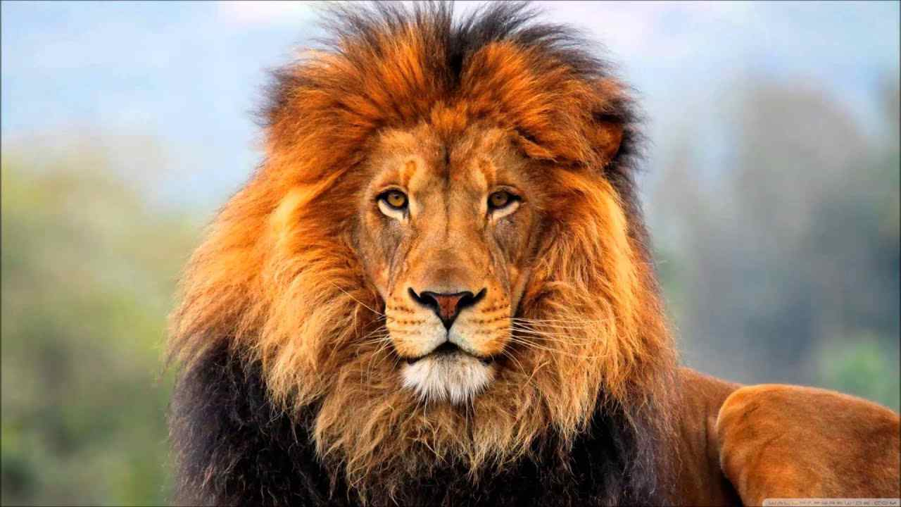 Tiếng Sư tử gầm trên hoang mạc Oxlv.mp3