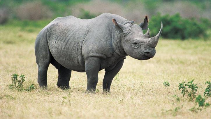 Tiếng Tê giác gọi đàn zcOC.mp3