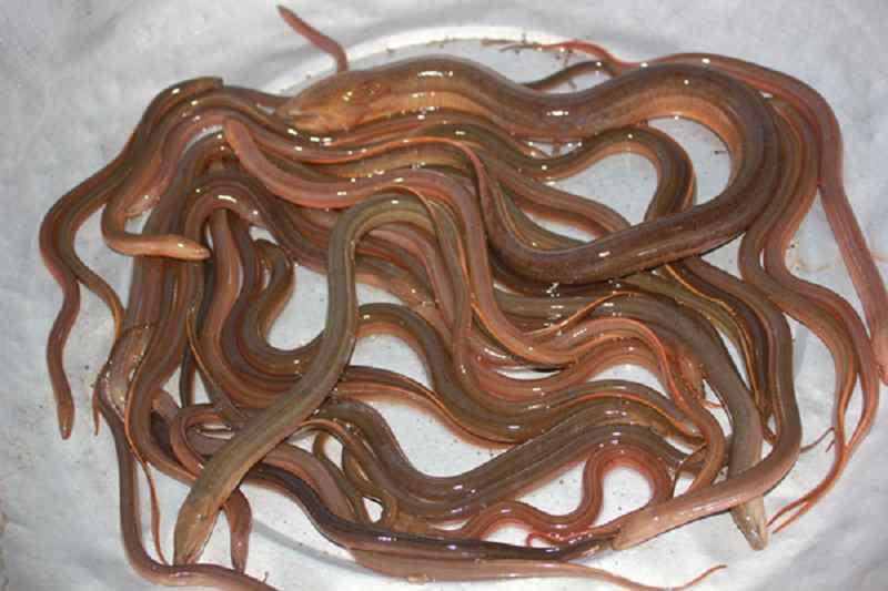 Chia sẽ cách làm mồi đặt trúm lươn đồng gia truyền hiệu quả gắp 3 lần