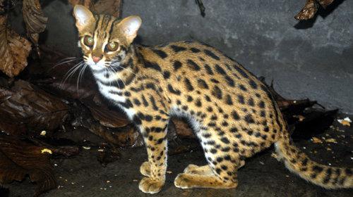 เสียงแมวป่า (แมวป่าเรียกฝูง) BCX2.mp3
