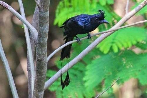 Tiếng chim chèo bẻo đuôi cờ cực hót zidk.mp3