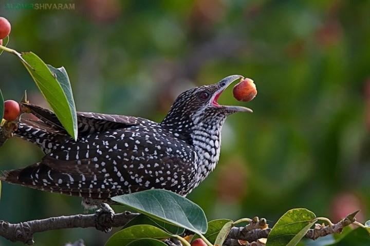 オニカッコウの鳴き声 - 野鳥の誘惑に適しています 7RhD.mp3