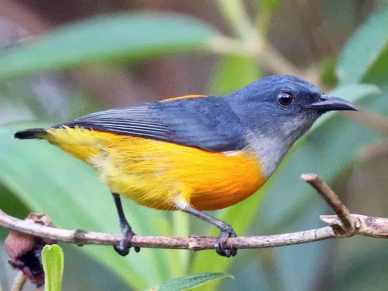 เคล็ดลับดูแล นกกาฝากท้องสีส้ม ป่าสำหรับมือใหม่