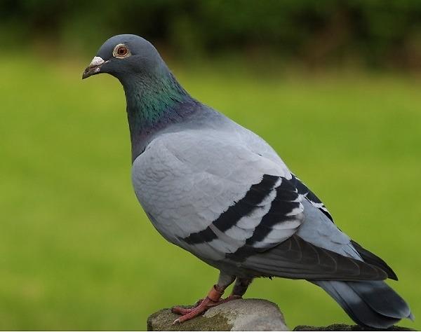 เสียงนกพิราบเลี้ยง โทรหาฝูงสัตว์ NiU9.mp3
