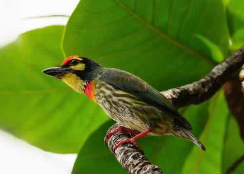 Tiếng chim cu rốc đầu đỏ phiên bản mới nhất qobd.mp3