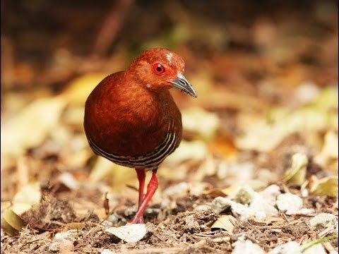 Tiếng Chim mắt đỏ chuẩn không tạp âm Qkdi.mp3