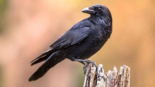 นกเรเวน ราคา เท่าไหร่? วิธีดูแลพวกเขา นกพูดภาษามนุษย์ได้หรือไม่?