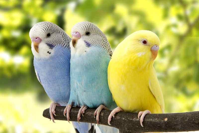 นกหงส์หยก ราคา เท่าไหร่? พวกเขาเลี้ยงดูง่ายหรือไม่? นกพูดภาษามนุษย์ได้?