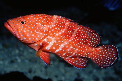 ปลากะรังจุดฟ้าจุดเล็ก ขายเท่าไหร่คะ? ทำของอร่อย? คุณซื้อที่ไหน