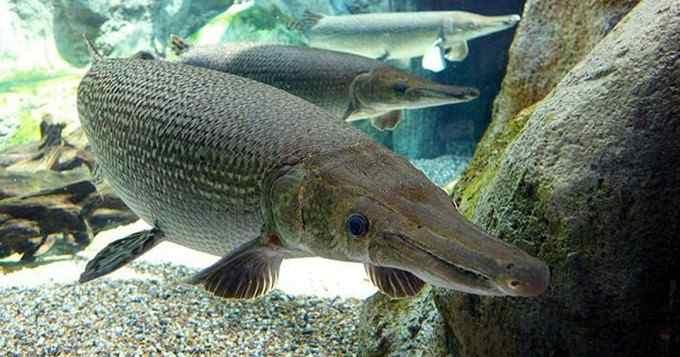 ลักษณะเด่นของ ปลาอัลลิเกเตอร์ คืออะไร? ราคาขายเท่าไหร่?