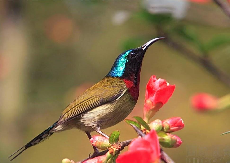 Suara burung penghisap nektar xonf.mp3