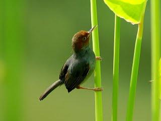 Suara burung cabe hutan cnnu.mp3