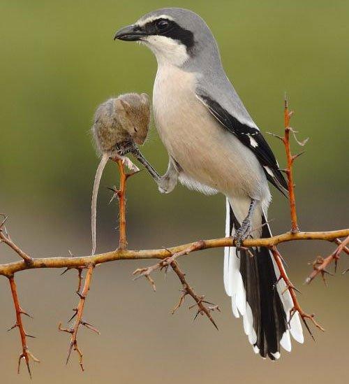 Suara pikat burung pentet ampuh mvyu.mp3