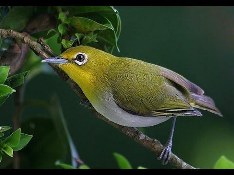 Suara burung Kacamata Jepang styi.mp3