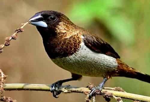 Suara burung bondol haji xomd.mp3