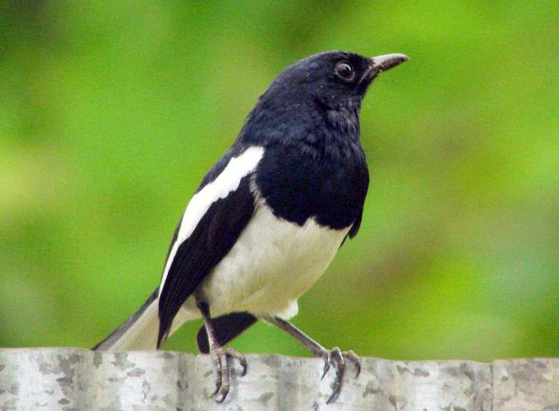 Suara burung Kucica kampung mcyu.mp3