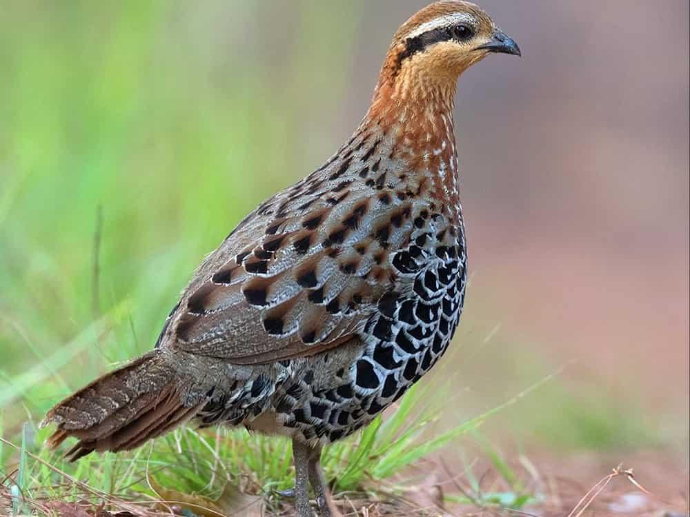 Suara burung Taiwan Bamboo Partridge shin.mp3