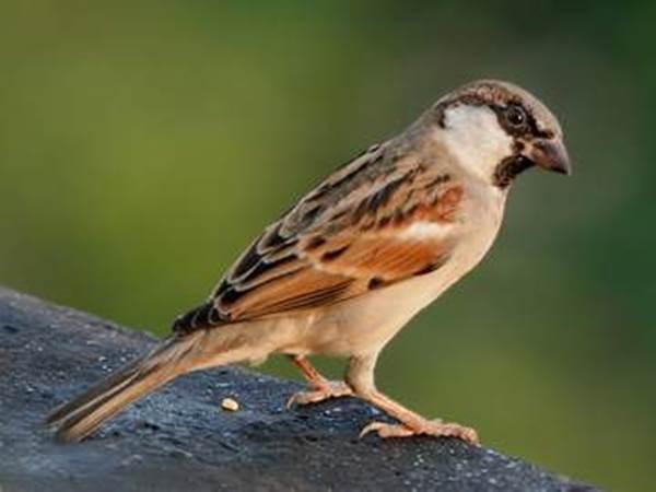Suara Burung Gereja Tarung Masteran znkr.mp3