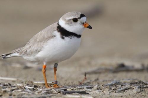Suara burung charadriidae d0nf.mp3