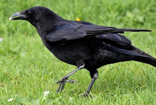Suara Kicau Burung Gagak Tengah Malam cknd.mp3