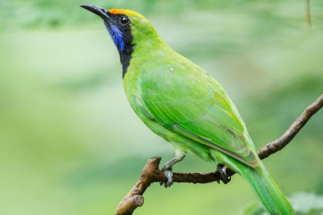 Suara burung Leafbird xikd.mp3