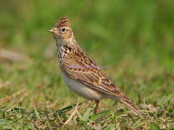 Suara burung Sanma oriental dint.mp3