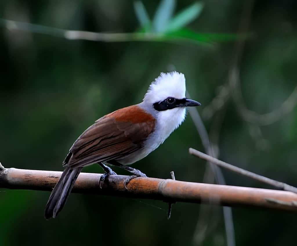 นกกะรางหัวหงอก ราคา เท่าไหร่? พวกเขากินอะไร? เพลงนกหรือเปล่า?