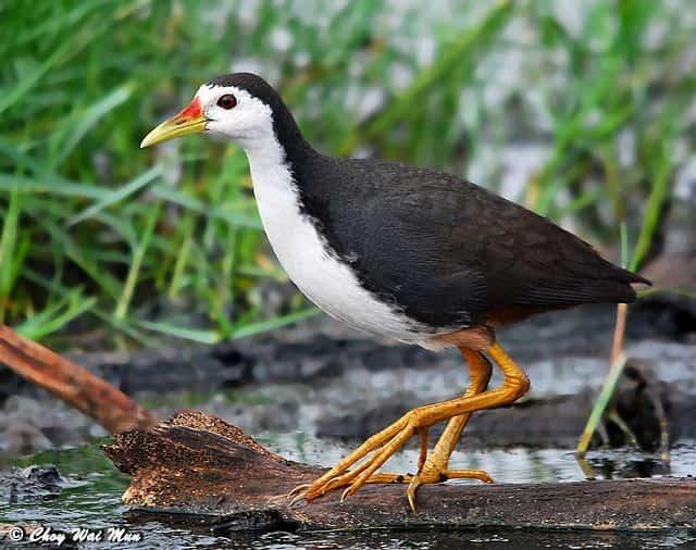 วิธีเลี้ยง นกกวัก ให้ประสบความสำเร็จสำหรับมือใหม่สัมผัสวิธีจับนกตัวนี้