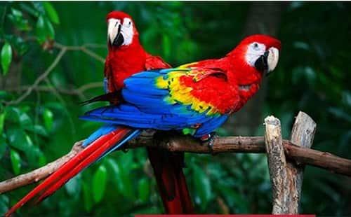 นกแก้วอเมริกาใต้ ราคา เท่าไหร่? อาหารของพวกเขาคืออะไร? ดูแลอย่างไร?