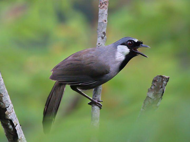 นกกระรางคอดำ ราคา เท่าไหร่? เสียงดีหรือไม่ วิธีดูแลพวกเขา