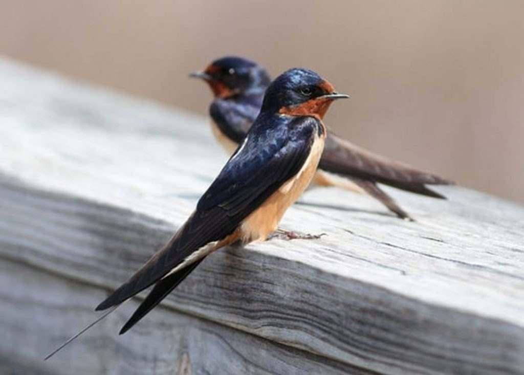 นกนางแอ่น กินอะไร? และจะแยกนกออกจาก นกนางแอ่น และ นกแอ่นบินเร็ว ได้อย่างไร?