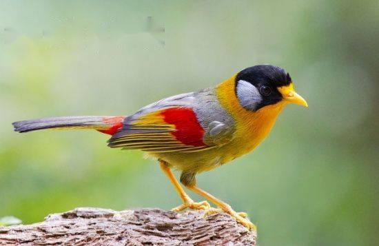 นกกะรองทองแก้มขาว กินอะไร? ราคาขายเท่าไร? จะเลี้ยงดูพวกมันอย่างไร?