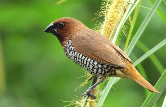 แบ่งปันวิธีดักจับ นกกระติ๊ดขี้หมู อย่างได้ผลและวิธีเลี้ยงนกตัวนี้