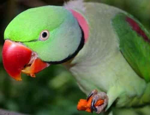 นกแก้วโม่งอินเดีย ราคา และวิธีการดูแลอย่างถูกต้อง
